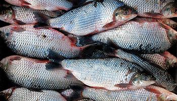 ryby-swieze-osman-hurt-detal-dystrybucja-legionowo-3