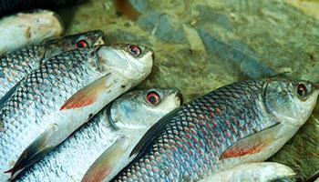 ryby-swieze-osman-legionowo-2