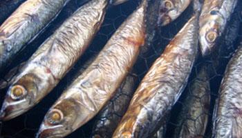 ryby-wedzone-osman-legionowo-dystrybucja-hurt-detal-warszawa-1